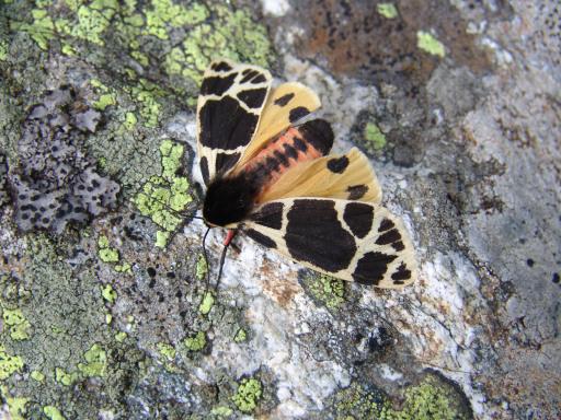 Der Engadiner Bär ein Schmetterling mit Seltenheitswert.