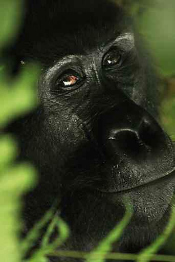 Uganda-Ruanda: Gorilla in Uganda