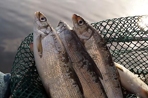 Bei der Fischer-Tafel servieren die Reinankenwirte wilden Fisch aus dem Millstätter See