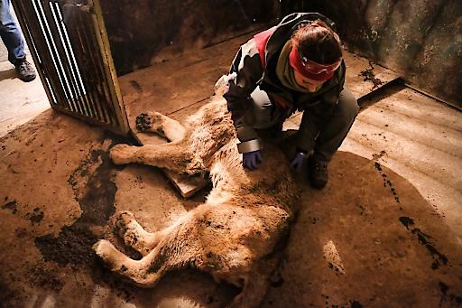 VIER PFOTEN Tierärztin Dr. Johanna Painer bei der Behandlung eines Löwen im Zoo