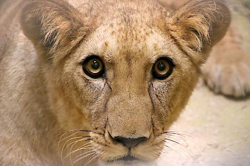 Löwin Amira im Löwenhaus der Tierwelt Herberstein