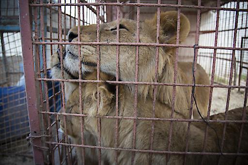 Die Löwen im Rafah Zoo wollen raus... In Kürze startet die VIER PFOTEN Rettungsmission