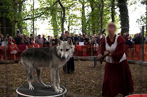 Ein Wolf bei einem Mittelalterfest in Frankreich