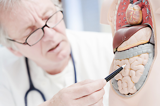 Darmgesundheit Modell