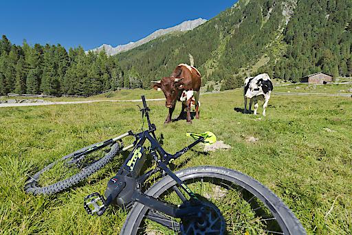 Sichere Almen: Nach Wirbel um Kuh-Urteil setzt der Alpenverein auf Eigenverantwortung beim Umgang mit Weidevieh