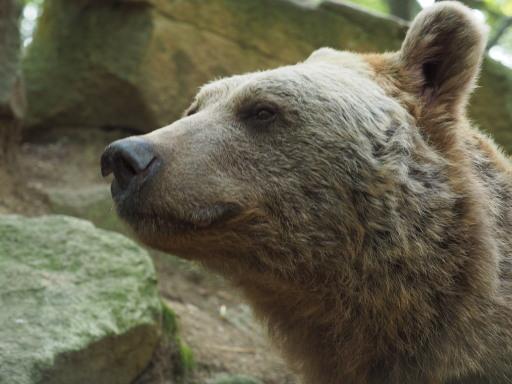 Vinzenz war ein außergewöhnlich schöner sibirischer Braunbär