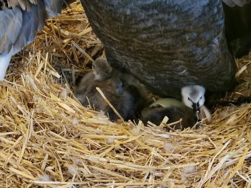 Frisch geschlüpftes Schwarzschwan Küken im Strohnest