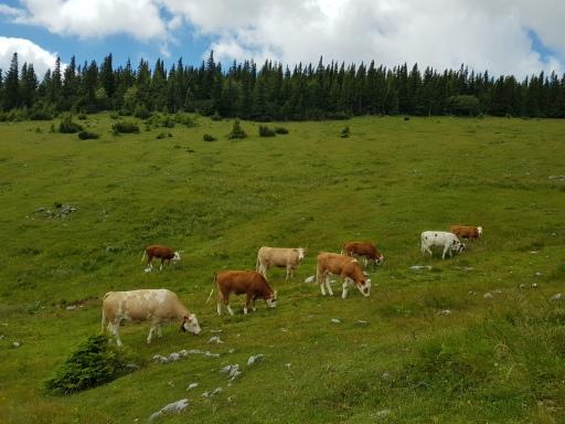 Kuhherden auf Almen gehören einfach dazu, aber man muss beim Aufeinandertreffen auch einiges Beachten.